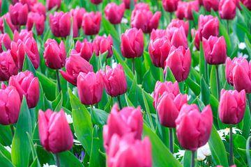 Roze tulpen von Dennis van de Water