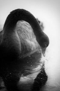 Een zwarte zwaan die in de spiegel van het water kijkt, een sprookje in zwart-wit beeld