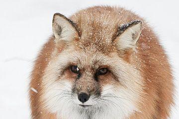 Porträt eines Rotfuchses im verschneiten Finnland von Melissa Peltenburg