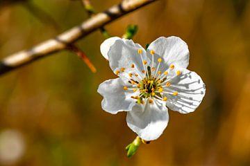 Weiße Obstblüte vor braunem Hintergrund. von Michaela Bechinie