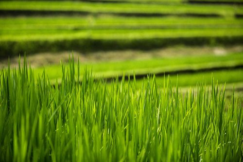 Rijstterrassen - Bali, Indonesië