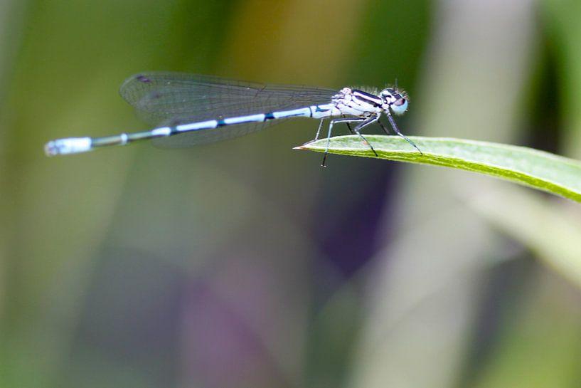 Libelle von Erwin Verweij