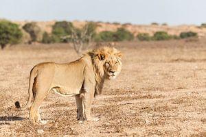 Leeuw in duinlandschap in Zuid-Afrika