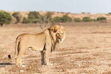 Leeuw in duinlandschap in Zuid-Afrika van