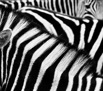 Zebra von Pieter Boon