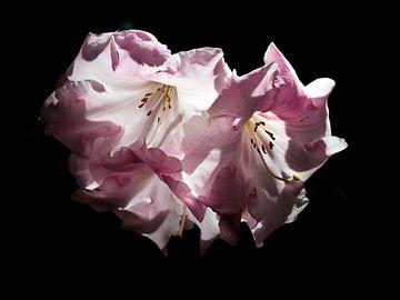 Rhododendron van Helga Novelli