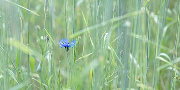 blauwe korenbloem in graanveld van Hanneke Luit