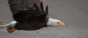Amerikaanse Zeearend in vlucht