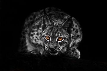 Lynx regarde dans l'obscurité. photo noir et blanc décolorée, yeux orange colorés.isolé sur un fond  sur Michael Semenov