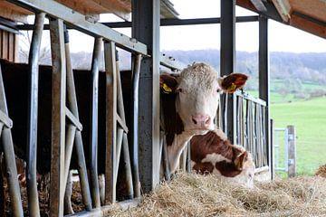 Limbourg du Sud : des vaches Hereford dans une étable ouverte sur Koolspix