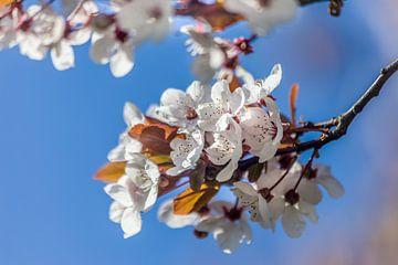 Kirschblütentraum van Christian Müringer