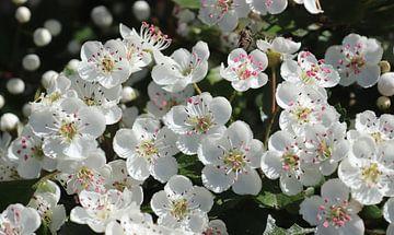 Prachtvolle Blüte eines Obstbaums im Frühling von MPfoto71