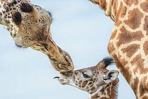moeder giraf waakt over jong