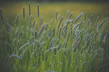 Grassen in bloei sur Daniël Steenbergen