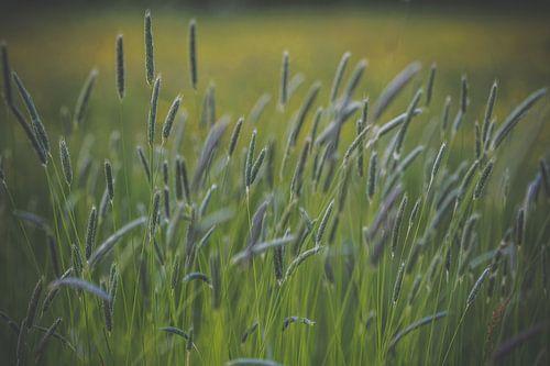 Grassen in bloei van
