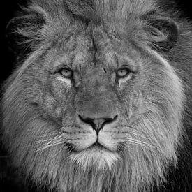 Leeuwenkoning van Tazi Brown