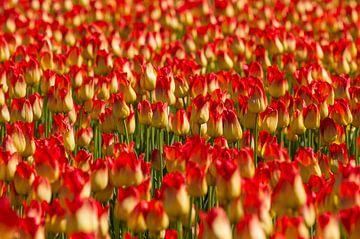 Rote und gelbe Tulpen von Dirk Jan Kralt