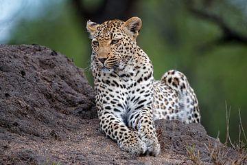 Luipaard (Panthera pardus) liggend op een termietenheuvel van Nature in Stock