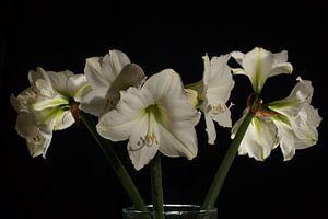 Amaryliss-Bouquet vor schwarzem Hintergrund
