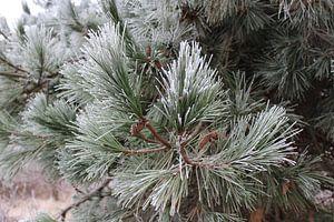 Pine tree in winter van Kevin Ruhe