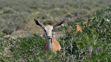 Nieuwsgierige springbok antilope in de bush van Timon Schneider