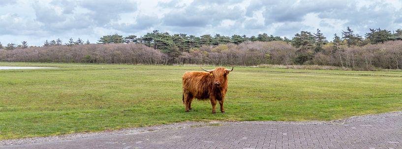 Hooglanders Texel van Texel360Fotografie Richard Heerschap