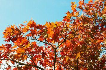 Esdoorn in herfstkleuren 6910082135 fotograaf Fred Roest van Fred Roest
