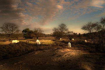 Weidende Kühe auf der Gooischen Heide von gooifotograaf