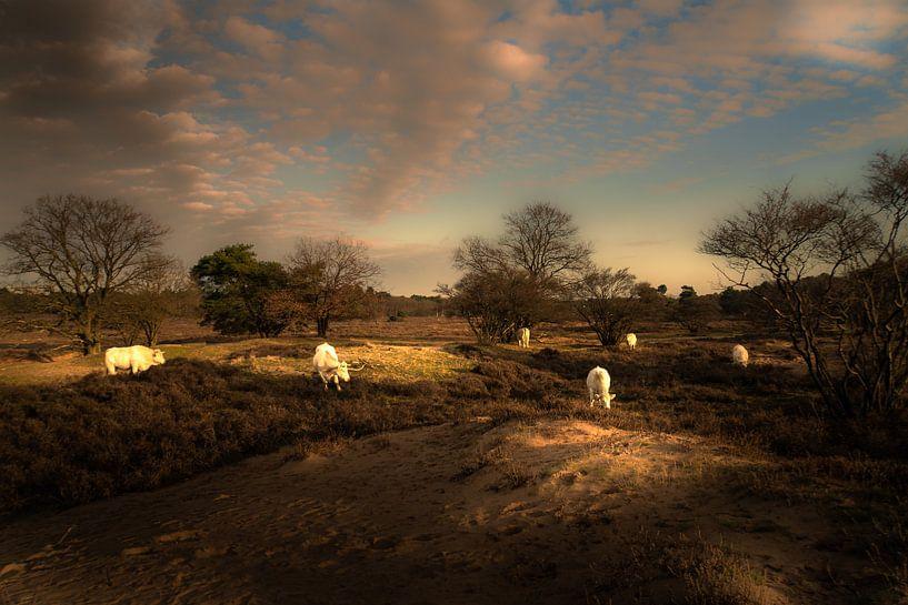 Grazende koeien op de Gooische hei van gooifotograaf
