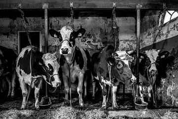 Koeien in oude stal van