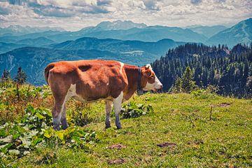 Kuh vor den Chiemgauer Alpen von C. Nass