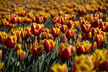 Tulpenveld van Ingrid Mooij