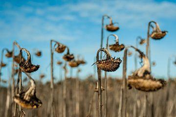 Tote Sonnenblumen von Thijs van Laarhoven