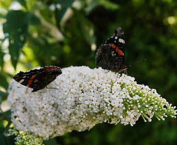 twee vlinders op een witte vlinderstruik van joyce kool