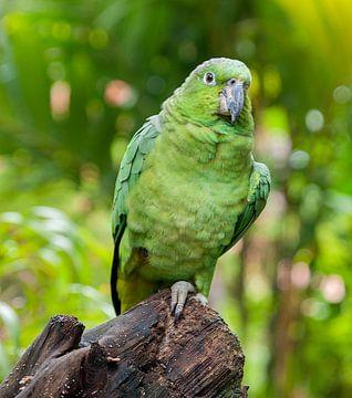 Guatemala-amazone van Maarten Verhees