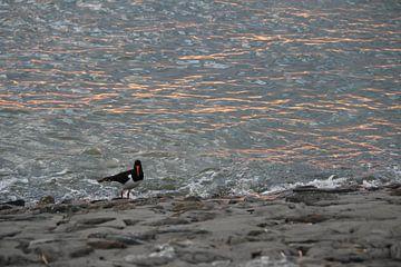 Austernfischer am Meer von Annette Gasch