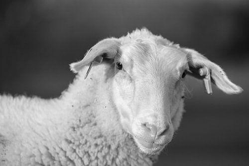 moutons de lait en zélande