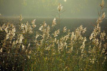 Winkendes Schilf gegen die untergehende Sonne im Herbst. von Jurjen Jan Snikkenburg