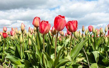 Tulips 2015 - 002 von Alex Hiemstra