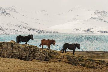 IJslandse paarden van Paul van der Zwan