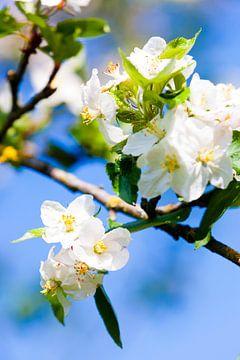 Appelbloesem in het voorjaar. van Wim Demortier