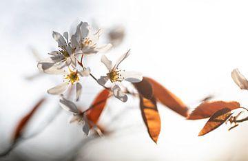 Blühende Johannisbeeren von Justin Sinner Pictures ( Fotograaf op Texel)
