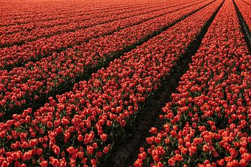 Tulpen van Jisca Kuijpers