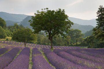 Lavendel in de Drome van Barbara Brolsma