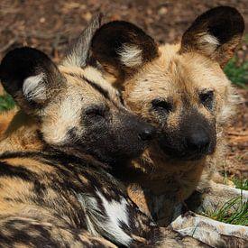 Afrikaanse wilde honden van Eye to Eye Xperience By Mris & Fred