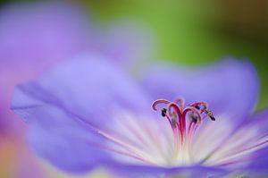 paarse geranium van