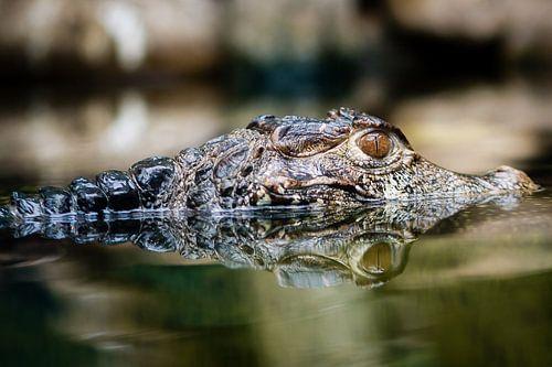Krokodil van Victor van Dijk