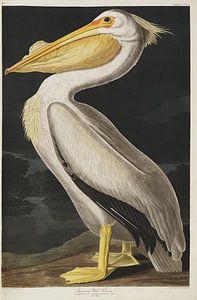 Weißer Pelikan - Teylers Edition - Vögel Amerikas, John James Audubon von Teylers Museum