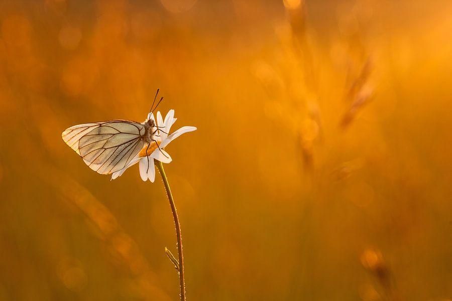 Vlinder in  het avondlicht, groot geaderd witje