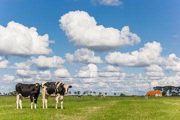 Niederländische Kühe auf einem kleinen Bauernhof in Groningen von Marc Venema